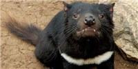 image: Second Contagious Cancer Found in Tasmanian Devils