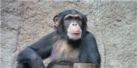 image: Embattled Chimps Relocate