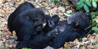 image: Chimps Share Microbes When Socializing