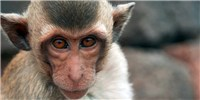 image: Engineered Monkeys Could Aid Autism Research