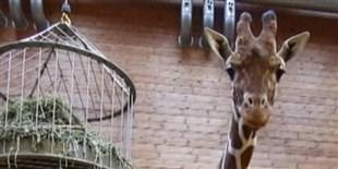 image: Giraffe in Half