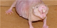 image: Cancer Detected in Naked Mole Rats