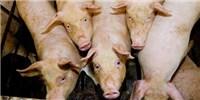 image: Pig-to-Pig Transmission of Mosquito-Borne Virus