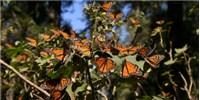 image: Migrating Monarch Numbers Rebound