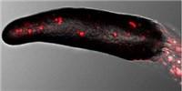 image: Amoebae Have Human-Like Immunity