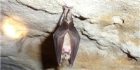 image: China's Bats Widely Resistant to White-Nose Syndrome