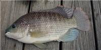image: New Fish Virus Discovered
