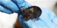 "image: Study: ""Dirty"" Mice More Humanlike"