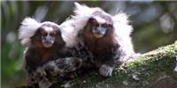 image: Zika-Infected Monkeys in Brazil