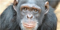image: Research Chimps Being Retired