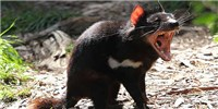 image: Tasmanian Devil Antibodies Fight Cancer