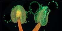 image: Image of the Day: Pollen Pouches