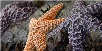 image: Sea Star Comeback?