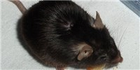 image: Immune Defect Detected in Knockout Mice