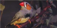 image: Zebra Finches Aid Neurodegeneration Research