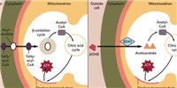 image: In Failing Hearts, Cardiomyocytes Alter Metabolism