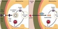 image: In Failing Hearts, Cardiomyocytes Alter Metabolism