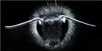 image: Bumblebees' Electric Sense