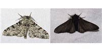 image: Gene Behind Black Peppered Moth's Color Change Identified