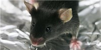 image: Single Bacterial Species Improves Autism-Like Behavior in Mice