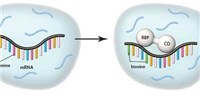 image: A New Way to ID Targets of RNA-Binding Proteins