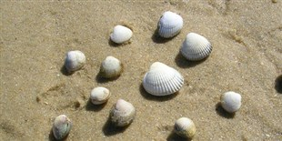 Transmissible Cancers Plague Mollusks