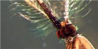 """image: """"Maleness"""" Gene Found in Malaria Mosquito"""