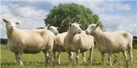 image: Study: Cloned Sheep Age Normally