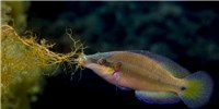 image: Ocean Acidification Affects Fish Spawning