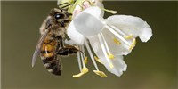 image: Pesticides Reduce Male Honeybee Fertility: Study