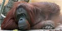 image: Orangutan Imitates Human Speech