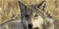 image: Wolf Species Are Part Coyote