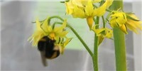 image: Bumblebees Pick Infected Tomato Plants