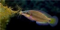 image: Female Fish Select Mates' Sperm