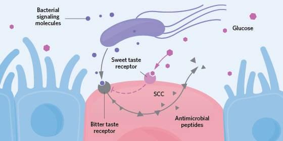 Image result for glucose taste receptor