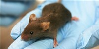 image: Antibiotic Therapy During Infancy Increases Type 1 Diabetes Risk in Mice