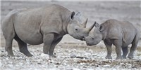 image: Image of the Day: Surviving Rhinos