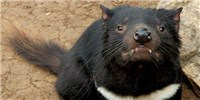 image: Tasmanian Devils Developing Resistance to Transmissible Cancer