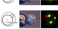 image: Study: Mitotic Cells Can Reprogram Mouse Sperm