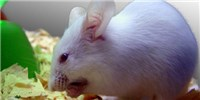 image: Viral Protein Boosts Muscle Mass in Male Mice