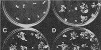 image: Science History: The First Transgenic <em>Arabidopsis</em>
