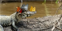 image: Image of the Day: Crowned Caiman