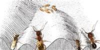 """image: Researchers Grow """"Frankenstein Ants"""" to Study Epigenetics"""