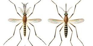 Can <em>Culex</em> Mosquitoes Also Spread Zika?
