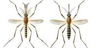 image: Can <em>Culex</em> Mosquitoes Also Spread Zika?