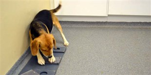 Genes Linked to Dogs' Sociability with People