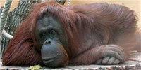 image: Apes Seem Capable of Inferring Others' Thoughts
