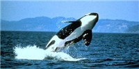 image: Orca Death Spurs Reevaluation of Satellite Tagging