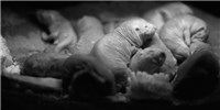 image: Naked Mole Rats Evolved to Feel Less Pain