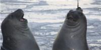 image: Seals Help Oceanographers Explore Underwater